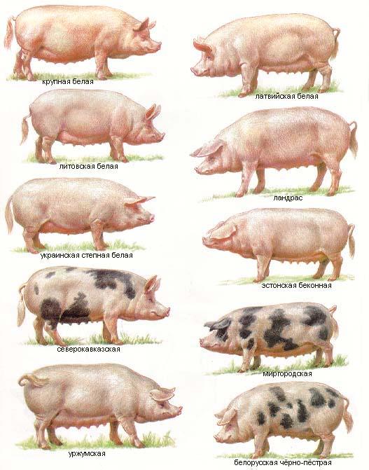 Порода создана на юге Украины способом скрещивания местных свиней Херсонской области с хряками крупной белой породы.